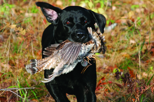 Grouse Hunting Black Lab
