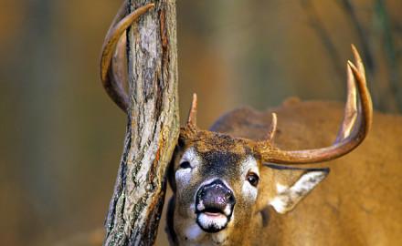 Huge Texas Deer