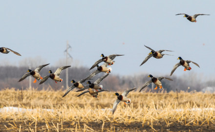 Federal biologists surveyed the waterfowl landscape and counted ponds and birds. That information,