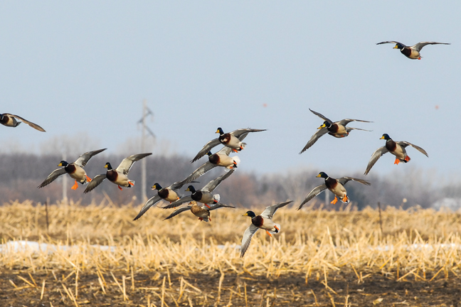 Forecasting the Mississippi Flyway