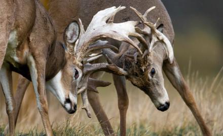 Mississippi Deer Battle