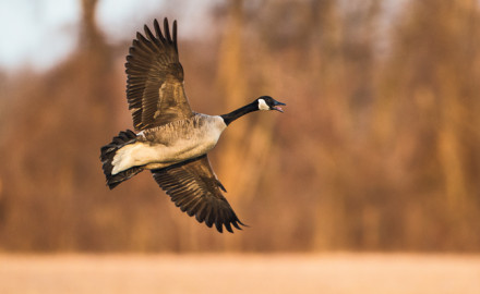 Mississippi Flyway Canada Goose