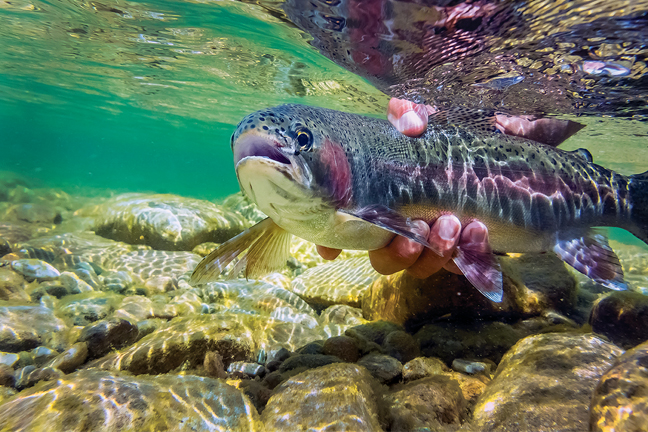 Great Rainbow Trout