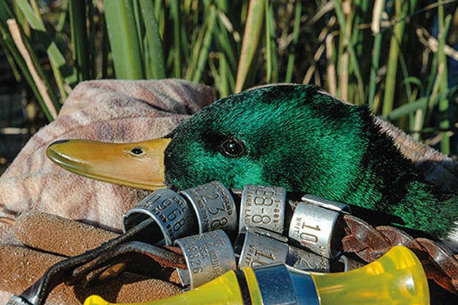 5 proven duck hunting strategies game fish duck hunting solutioingenieria Images