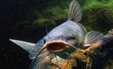 November Catfish Keeper