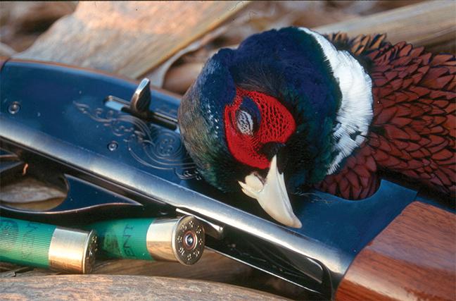Pheasant Hunting Spoils