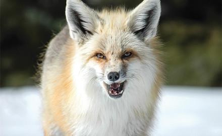 Predator Calling Fox Feature