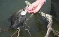 Game fish for Wheeler lake fishing report