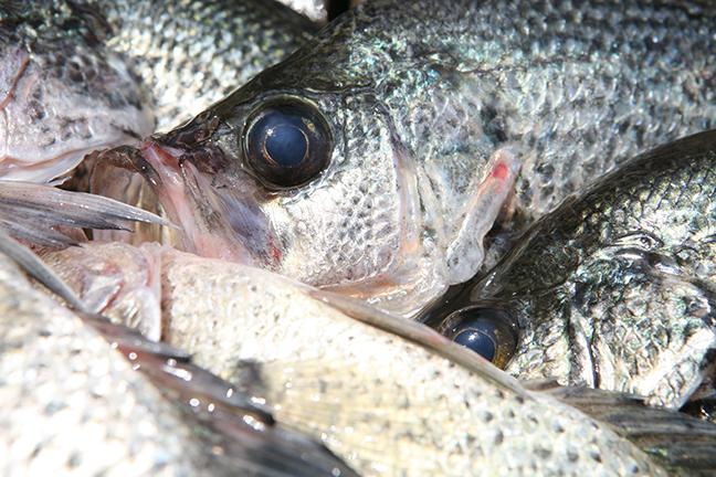 Kentucky crappie fishing