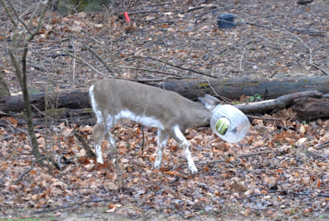 'Jughead' deer had a large plastic snack jar stuck on head.