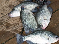 Michigan crappie fishing