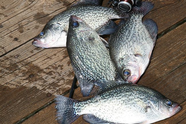2017 michigan crappie fishing forecast game fish for Ohio fishing report 2017