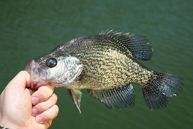 Missouri Crappie Fishing Forecast Spring 2017