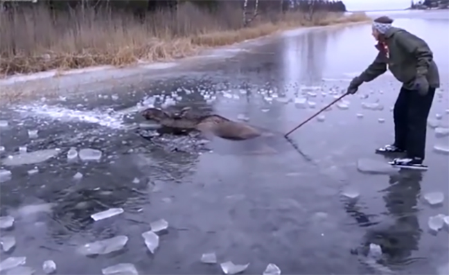 Video: Dramatic Moose Rescue on Frozen Lake