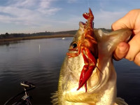 bass fishing-bass love crawfish
