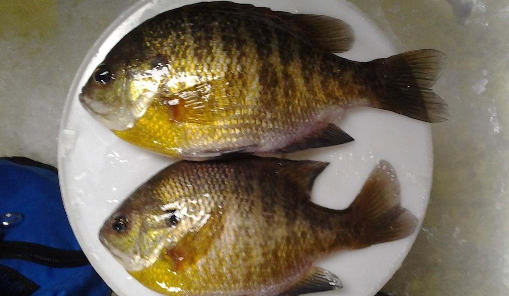 panfish