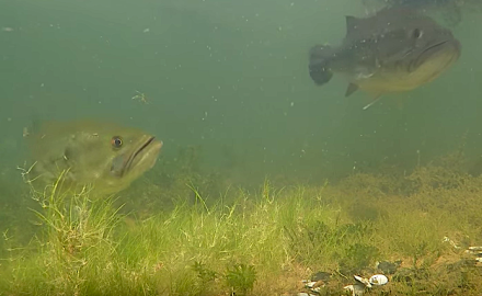 Spawning bass offer some great opportunities to catch a trophy fish.   YouTube screenshot  The