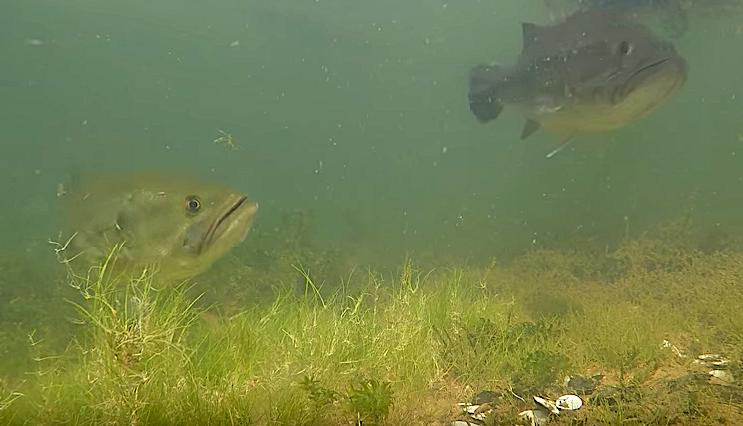 spawning bass