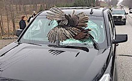 Wild turkey season doesn't begin in the state of Indiana until April, but at least one tom has