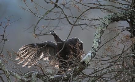 Indiana Turkey Forecast