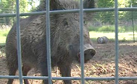 Conservation officers have uncovered an illegal wild hog selling operation in South Mississippi.