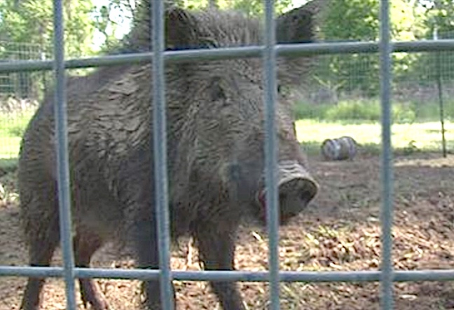Wild Hog Trafficking Operation Busted; 4 Charged