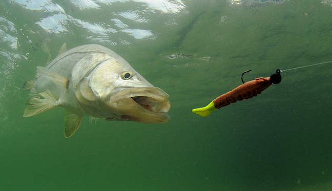 Snook fishing in florida gulf waters to close for summer for Florida game and fish