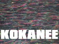 KOKANEE Salmon Fish