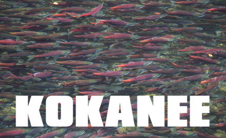 KOKANEE Salmon Fish