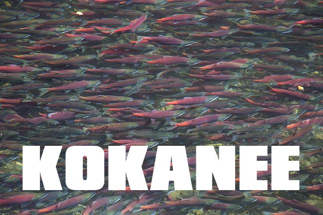 KOKANEE: Best Tactics to Catching More Fish