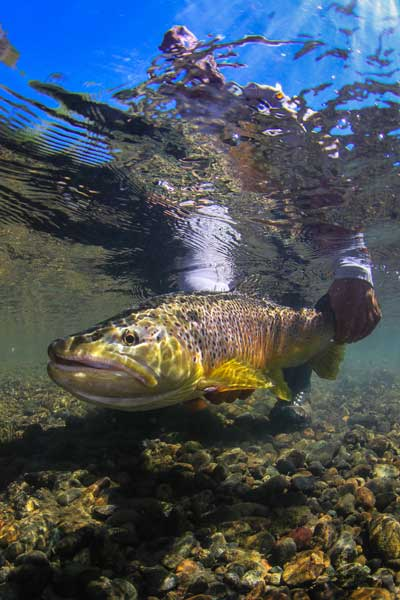 Big brown trout are the draw while fishing the Yellowstone River inside and outside Yellowstone National Park. Cutthroats also abound here and there are miles of walk-and-wade options to be found.  Photo by Jim Klug