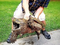 Alligator snapping turtle (Texas Parks and Wildlife Department photo)