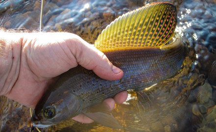 The Wyoming Game and Fish Department says stocked arctic grayling are already 11 to 14 inches.