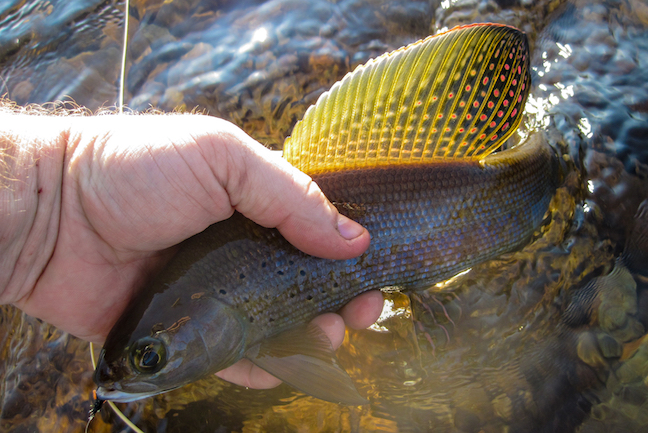 Arctic Grayling Stockings Bring Unique Fishing in Wyoming