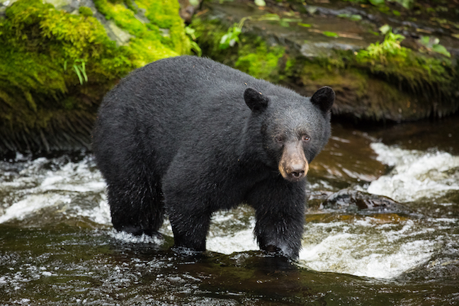 Idaho Hunter Survives Black Bear Attack