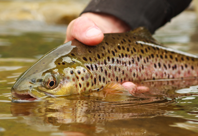 Mountain Gold: Georgia Trout Fishing for Browns, 'Bows, Even