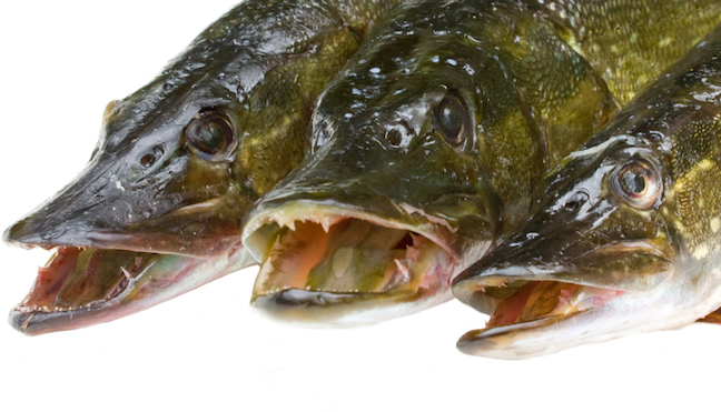 20 northern pike bounty offered at colo lake game fish for Pike fishing colorado