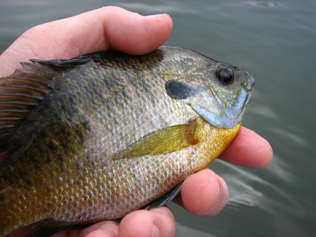 Panfish Pursuit: Low Tech, But Plenty to Enjoy