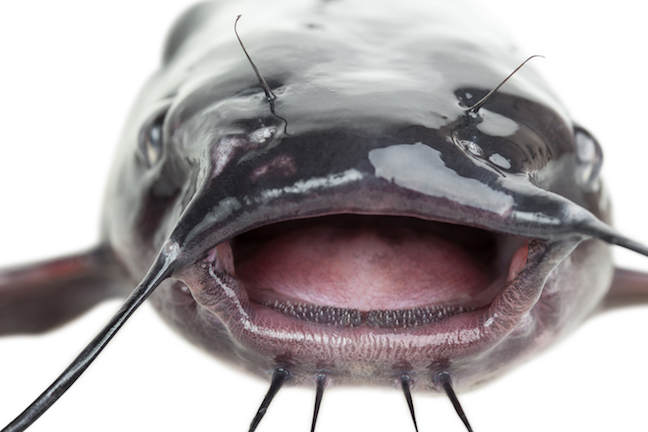 Giant Catfish: Best Places For A Trophy Catch