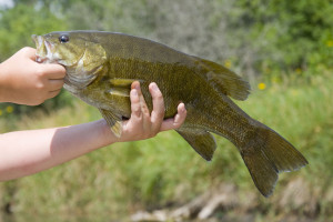 Smallmouth Bass (Shutterstock image)