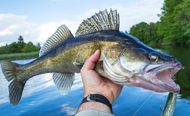 Follow the Food to Catch River Walleye