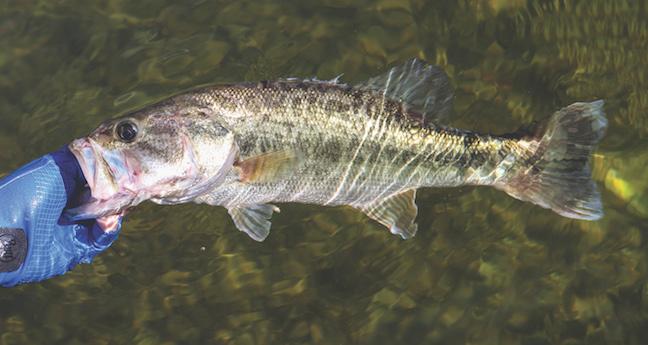 Missouri bass