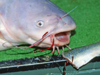 circle hooks for catfish