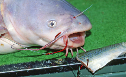 Using circle hooks for catfish can result in more hook-ups and reduce mortality of