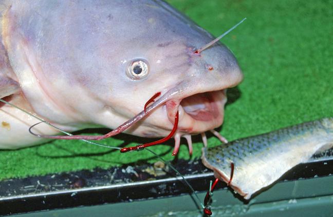 Why You Should Use Circle Hooks for Catfish