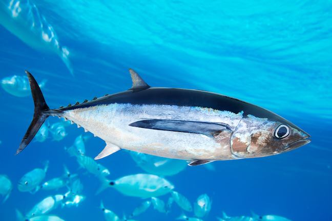 Tuna fishing time all you need to know to get started for Tuna fishing nj