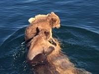 Alaska bear cubs