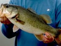 Pennsylvania bass