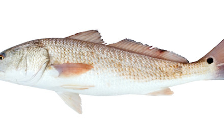 It may seem odd to anglers who fish for red drum with bottom rigs and jigs, but the fish actually