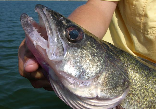 saginaw bay walleyes